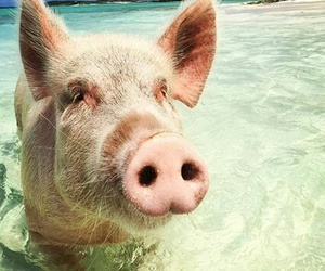 beach and pig image