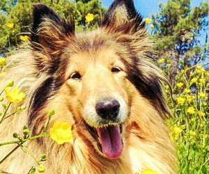 animals, collie, and dog image