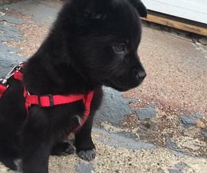 adorable, labrador, and pet image