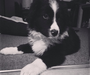 black and white, border collie, and puppy image