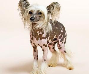 chinese crested dog image