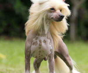 chinese crested dog and livia krainer image