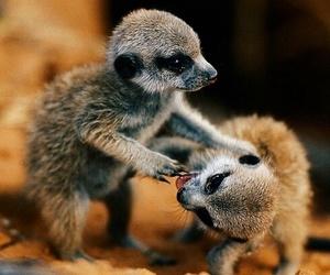 baby, meerkat, and cute image