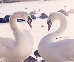 animals, Swan, and beautiful image