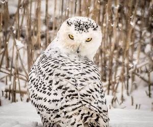 hedwig, snowy owl, and snow owl image