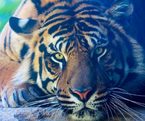 animals, dangerous, and tigre image