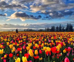 flowers, tulip, and beautiful image