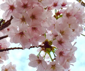 cherry blossoms, nature, and flower image