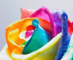 rose, flowers, and colorful image