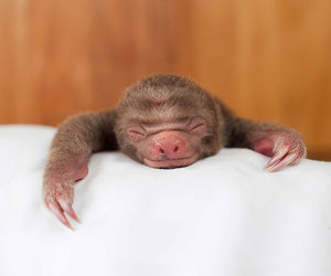 baby animals, cute animals, and sloth image