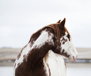 horse, pinto, and portrait image