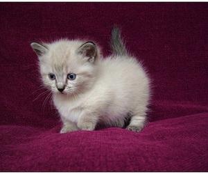 cat, kitten, and munchkin image