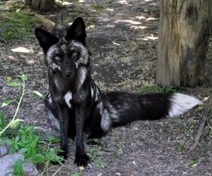 fox, animal, and black image