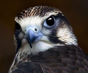 animal, bird, and falcon image