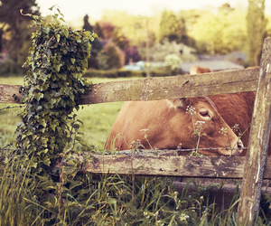 cow, country, and farm image