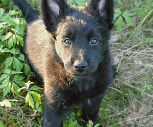 dog, puppy, and australian kelpie image