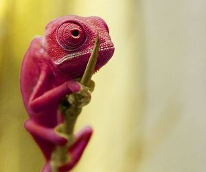 pink, animal, and chameleon image