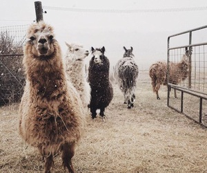 alpaca, warm, and cool image