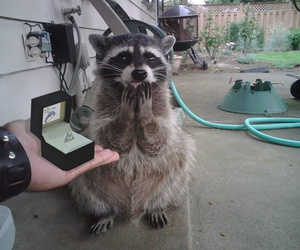 animal, ring, and raccoon image