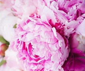 flowers, peonies, and purple image