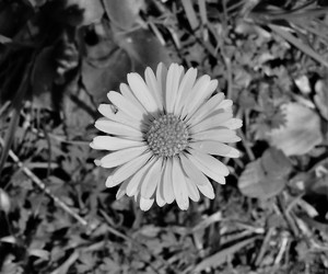 b&w, flower, and spring image