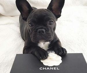 chanel, animal, and dog image