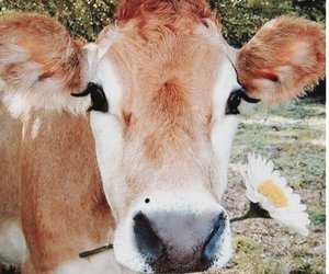 animals, beautiful, and cow image
