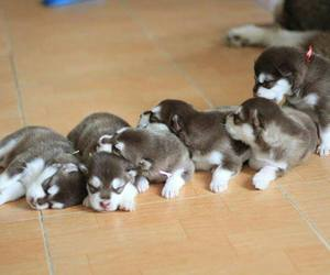 dog, puppy, and siberian husky image