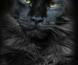 black cats, maine coon, and cats image