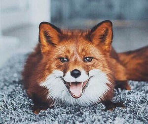 animal, red, and fox image