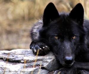 wolf, animal, and black image