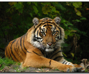 animal, explore, and tiger image