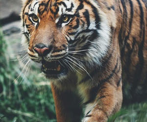 animals, nature, and tiger image