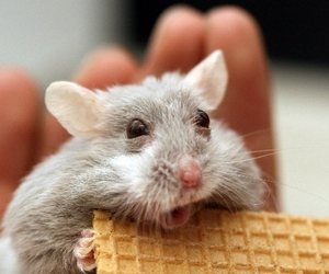 animal, mouse, and pet image
