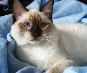blue eyes, cat, and cozy image