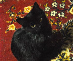 animals, black cats, and cat lady image