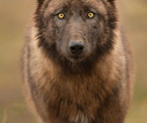 wolf, animal, and wildlife image