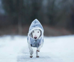 bull terrier, dogs, and winter image