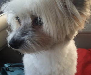 dog, maltese, and pet image