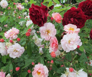 flowers, rose, and spring image
