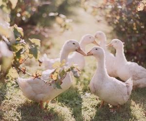 animals, bird, and ducks image