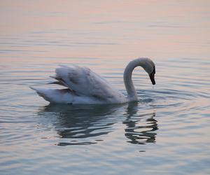Swan and lake image