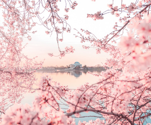 cherry blossoms, DC, and pastel image