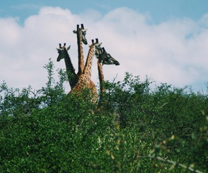 africa, environment, and giraffes image