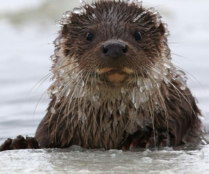 animals, otter, and water image