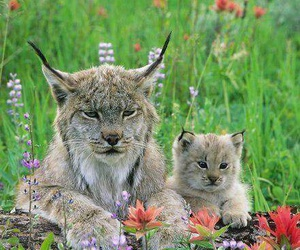 animal, nature, and lynx image