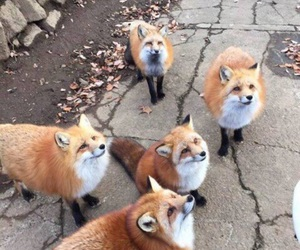 animals, inspiration, and foxes image