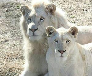 animal, lion, and nature image