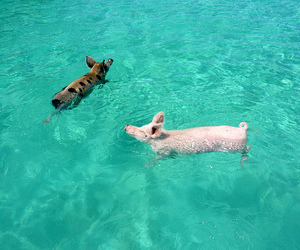 pig, swimming, and ocean image