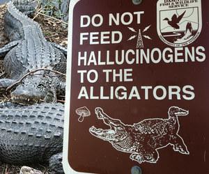 alligator, hallucinogens, and drugs image